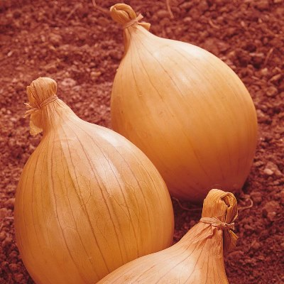 Organic Ailsa Craig Giant Onion Seeds - 20 Count