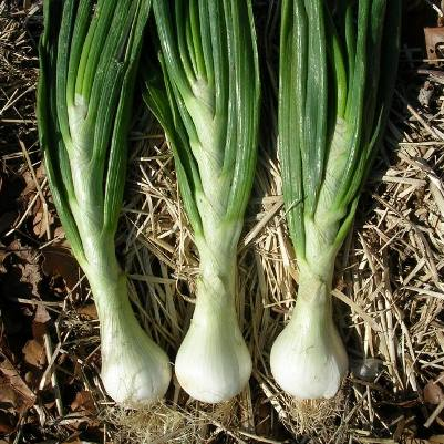 Organic Parade Bunching Onion Seeds - 20 Count