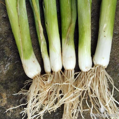 Organic Tokyo Long White Bunching Onion Seeds - 20 Count