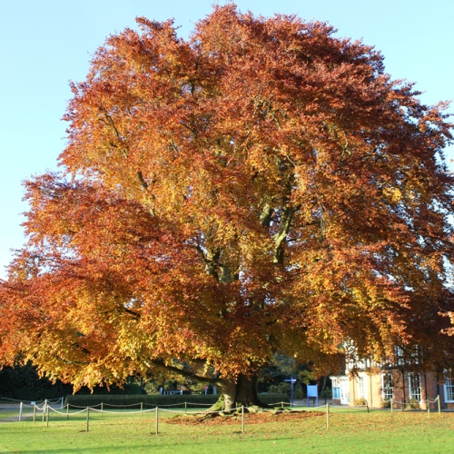 American Beech Tree Seeds - 15 Count