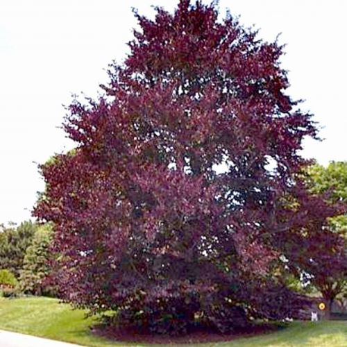 American Purple Beech Tree Seeds - 15 Count