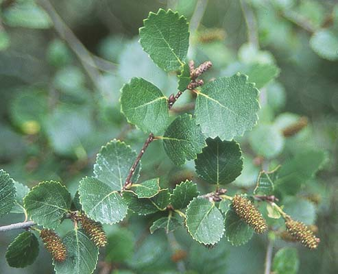 Arctic Dwarf Birch Tree Seed - 30 Seeds