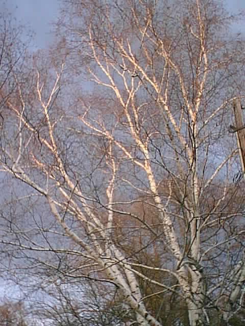 Arctic White Birch Tree Seed - 30 Seeds