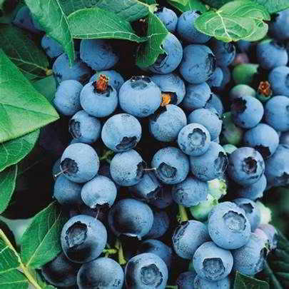 Bluecrop Blueberry Seed - Organic 35 Count