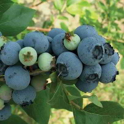Blue Jay Blueberry Seed - Organic 35 Count