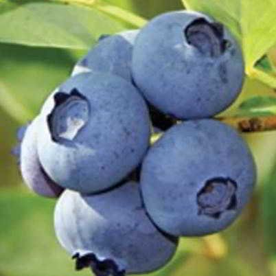 Jersey Blueberry Seed - Organic 35 Count