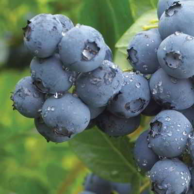 Northland Semi-Dwarf Blueberry Seed - Organic 35 Count