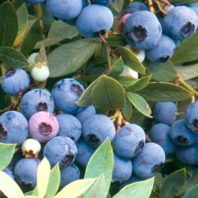Dwarf Blue Sunshine Blueberry Seed - Organic 35 Count