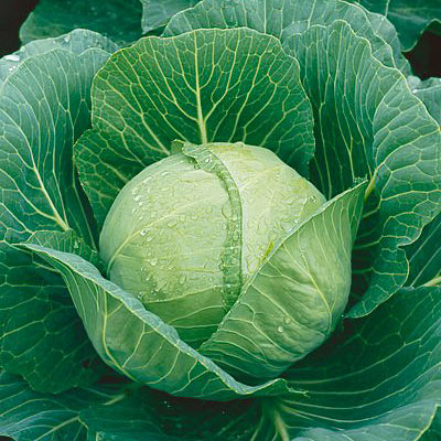 Organic Earlianna Cabbage Seeds - 20 Count