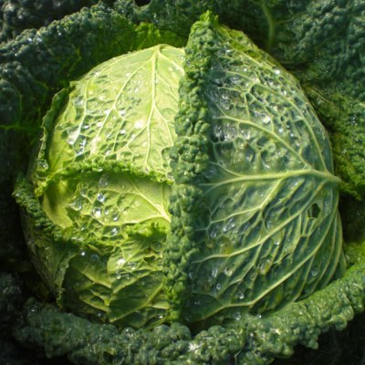 Organic Famosa Savoy Cabbage Seeds - 20 Count