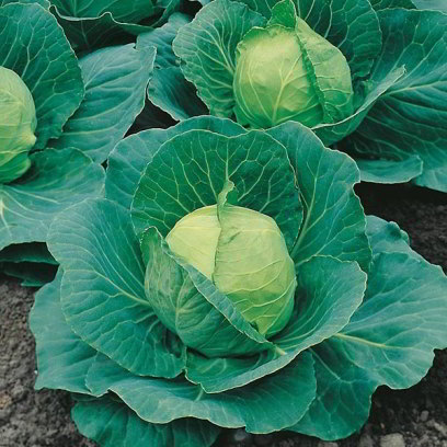 Organic Golden Cross Cabbage Seeds - 20 Count