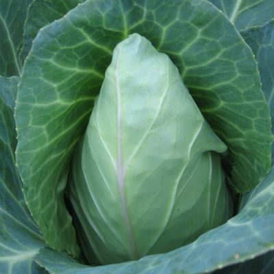 Organic Early Jersey Wakefield Cabbage Seeds - 20 Count