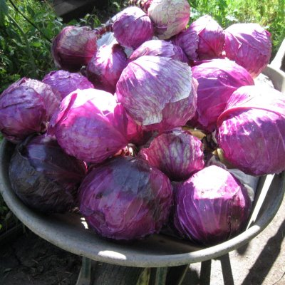 Organic Mammoth Red (Red Danish) Cabbage Seeds - 20 Count