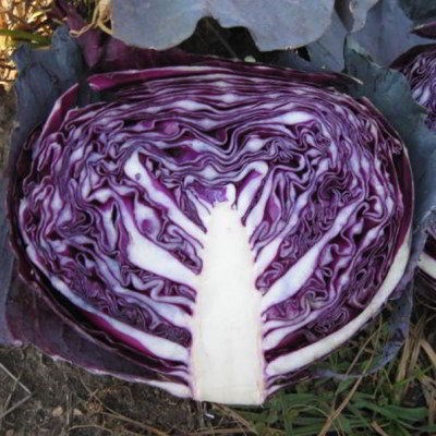 Organic Red Express Cabbage Seeds - 20 Count