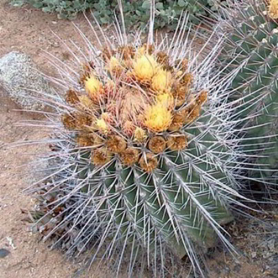 Coville's Barrel Cactus Seeds - 12 Count