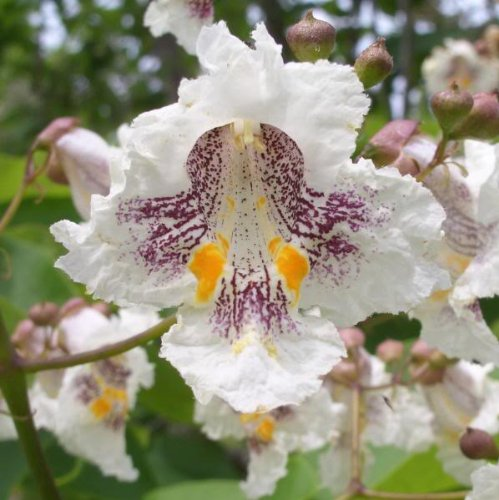 Chinese Catalpa Tree Seeds - 25 Count