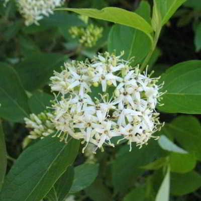 Silky - Swamp Dogwood Seeds - 20 Count