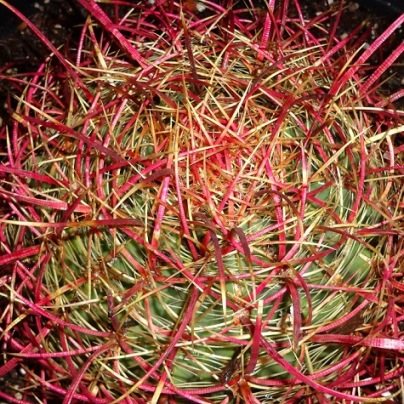 Compass Barrel Cactus Seeds Lavender Flowered- 12 Count
