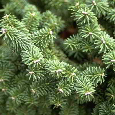 Balsam Fir Tree Seeds - 20 Count
