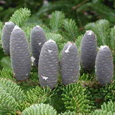 Bracket Balsam Fir Tree Seeds - 20 Count