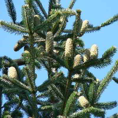 European Silver Fir Tree Seeds - 20 Count