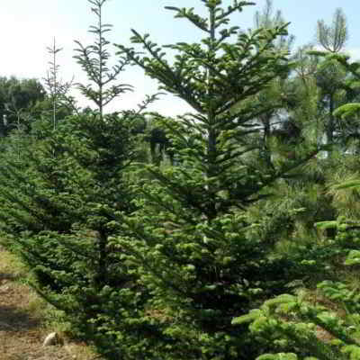 Fraser Fir Tree Seeds - 20 Count