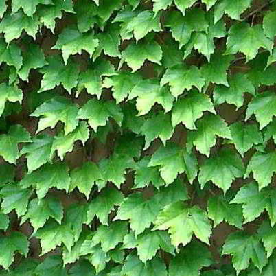 Boston Ivy Seed - 15 Count