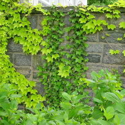 Boston Ivy - Fenway Park Seed - 15 Count