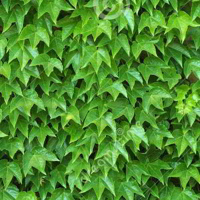 Green Showers Boston Ivy Seed - 15 Count
