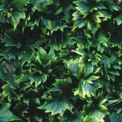 Lowii Boston Ivy Seed - 15 Count