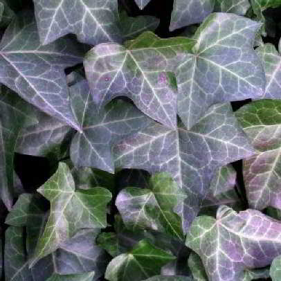 Purpurea Boston Ivy Seed - 15 Count