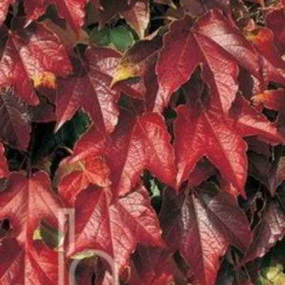 Robusta Boston Ivy Seed - 15 Count