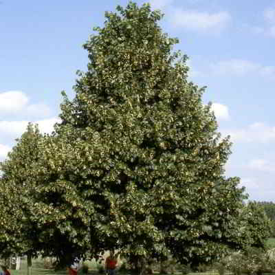 American Linden Tree Seeds - 15 Count