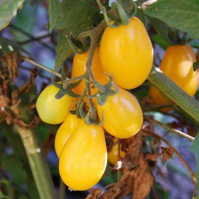 Organic BHN 827 Yellow Plum Tomato Seeds - 20 Count