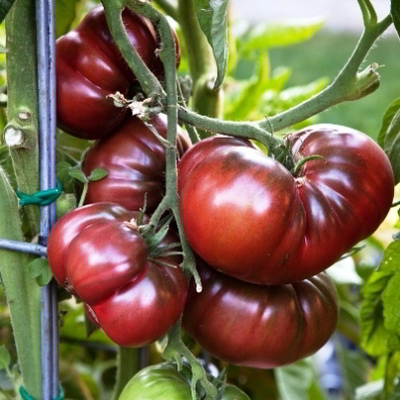 Organic Black Krim Tomato Seeds - 20 Count