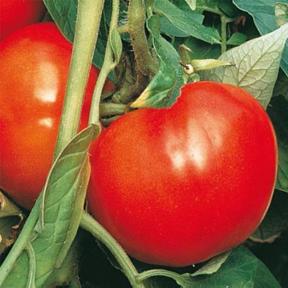 Organic Celebrity SupremeTomato Seeds - 20 Count
