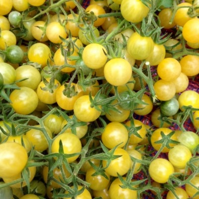 Organic Coyote White Cherry Tomato Seeds - 20 Count