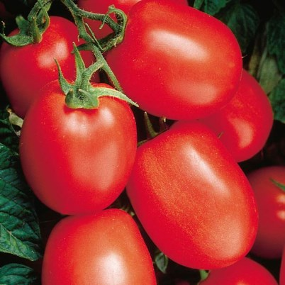 Organic Health Kick Plum Tomato Seeds - 20 Count