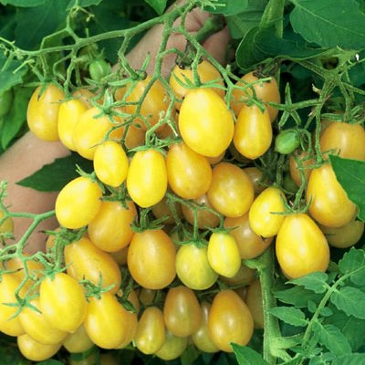 Organic Ildi Yellow Grape Tomato Seeds - 20 Count