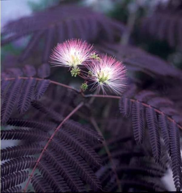 Black Mimosa Tree Seeds - 20 Count
