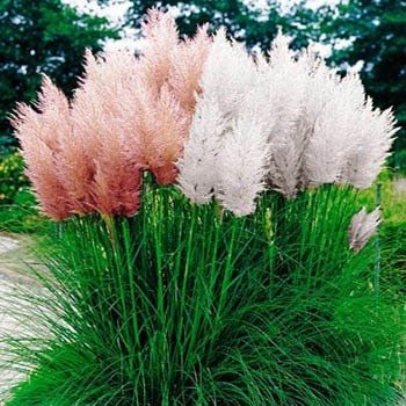 Red and White Pampas Grass Seeds - 50 Count Each