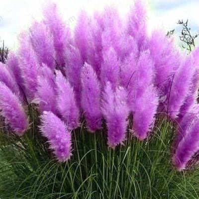 Royal Purple Pampas Grass Seeds - 50 Count