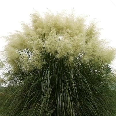 White and Yellow Pampas Grass Seeds - 50 Count Each