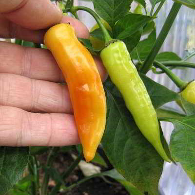 Organic Yellow Aji Crystal Pepper Seeds - 15 Count