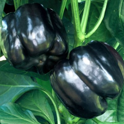 Organic Black Beauty Pepper Seeds - 15 Count