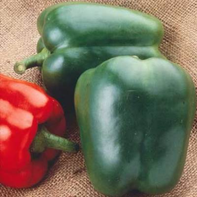 Organic Northern Star Green Pepper Seeds - 15 Count
