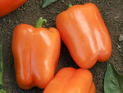 Organic Orange Blaze Pepper Seeds - 15 Count