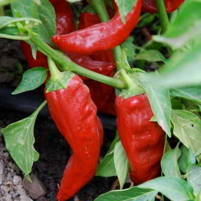 Organic Santa Fe Grande Pepper Seeds - 15 Count