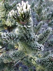 Bristlecone Pine Tree Seeds - 25 Count