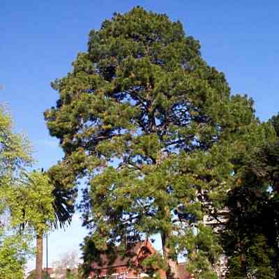 Canary Island Pine Tree Seeds - 25 Count